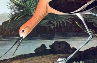 "American Avocet. From ""The Birds of America"" (Amsterdam Edition)"