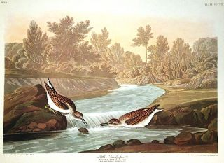 """Little Sandpiper. From """"The Birds of America"""" (Amsterdam Edition)"""