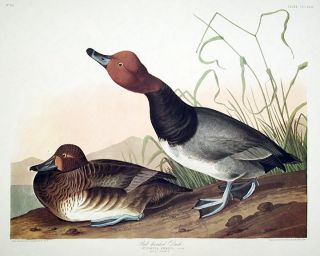 "Red-headed Duck. From ""The Birds of America"" (Amsterdam Edition). John James AUDUBON."