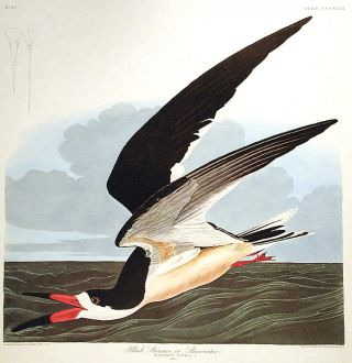 "Black Skimmer or Shearwater. From ""The Birds of America"" (Amsterdam Edition). John James AUDUBON"