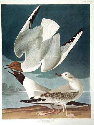 "Bonapartian Gull. From ""The Birds of America"" (Amsterdam Edition). John James AUDUBON"