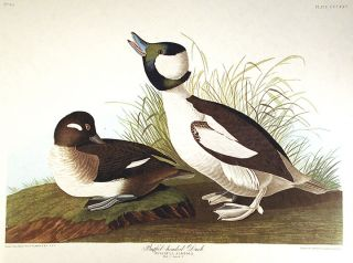 "Buffel-headed Duck. From ""The Birds of America"" (Amsterdam Edition). John James AUDUBON"