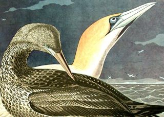"""Gannet. From """"The Birds of America"""" (Amsterdam Edition)"""