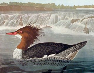 "Goosander. From ""The Birds of America"" (Amsterdam Edition)"