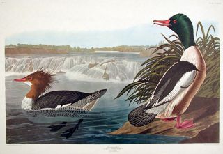 "Goosander. From ""The Birds of America"" (Amsterdam Edition). John James AUDUBON"