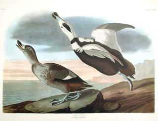 "Pied Duck. From ""The Birds of America"" (Amsterdam Edition). John James AUDUBON"