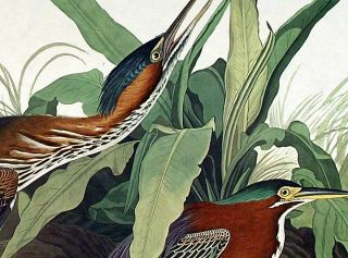 "Green Heron. From ""The Birds of America"" (Amsterdam Edition)"
