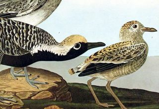 "Black-bellied Plover. From ""The Birds of America"" (Amsterdam Edition)"