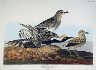 "Black-bellied Plover. From ""The Birds of America"" (Amsterdam Edition). John James AUDUBON"