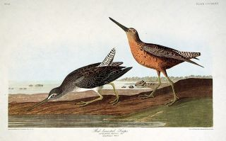 "Red-breasted Snipe. From ""The Birds of America"" (Amsterdam Edition). John James AUDUBON"