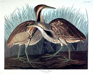 "American Bittern. From ""The Birds of America"" (Amsterdam Edition). John James AUDUBON."