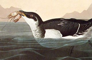"""Little Auk. From """"The Birds of America"""" (Amsterdam Edition)"""