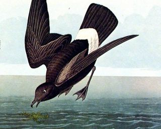 "Least Stormy Petrel. From ""The Birds of America"" (Amsterdam Edition)"