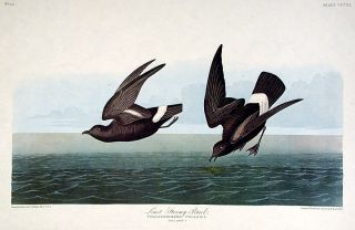 "Least Stormy Petrel. From ""The Birds of America"" (Amsterdam Edition). John James AUDUBON"