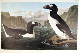 "Great Auk. From ""The Birds of America"" (Amsterdam Edition). John James AUDUBON"