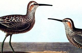 """Long-legged Sandpiper. From """"The Birds of America"""" (Amsterdam Edition)"""