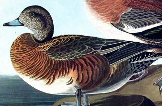 "American Widgeon. From ""The Birds of America"" (Amsterdam Edition)"