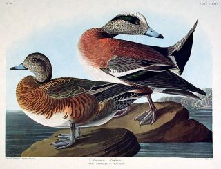 "American Widgeon. From ""The Birds of America"" (Amsterdam Edition). John James AUDUBON"