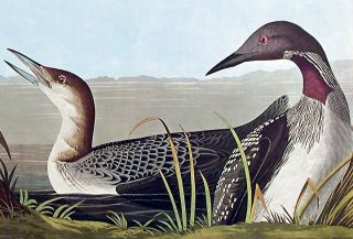 "Black-throated Diver. From ""The Birds of America"" (Amsterdam Edition)"