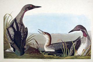 "Black-throated Diver. From ""The Birds of America"" (Amsterdam Edition). John James AUDUBON"