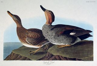 "Gadwall Duck. From ""The Birds of America"" (Amsterdam Edition). John James AUDUBON"