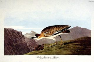 "Rocky Mountain Plover. From ""The Birds of America"" (Amsterdam Edition). John James AUDUBON"
