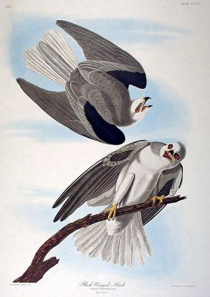 "Black-winged Hawk. From ""The Birds of America"" (Amsterdam Edition). John James AUDUBON"