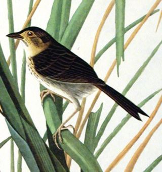 """Mac Gillivray's Finch. From """"The Birds of America"""" (Amsterdam Edition)"""