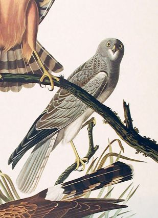 "Marsh Hawk. From ""The Birds of America"" (Amsterdam Edition)"