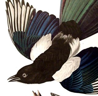 "American Magpie. From ""The Birds of America"" (Amsterdam Edition)"