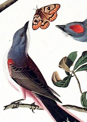 "Arkansaw Flycatcher, Swallow-tailed Flycatcher, Says Flycatcher. From ""The Birds of America"" (Amsterdam Edition)"