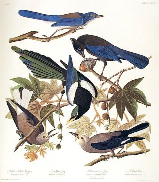 "Yellow Billed Magpie, Stellers Jay, Ultramarine Jay, Clark's Crow. From ""The Birds of America""..."