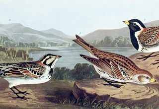 "Lapland Long-Spur. From ""The Birds of America"" (Amsterdam Edition)"