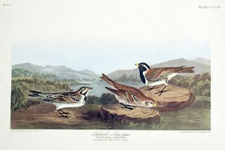"Lapland Long-Spur. From ""The Birds of America"" (Amsterdam Edition). John James AUDUBON"