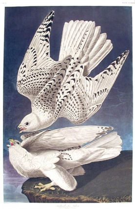 "Iceland, or Jer Falcon. From ""The Birds of America"" (Amsterdam Edition). John James AUDUBON"