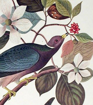 "Band-tailed Pigeon. From ""The Birds of America"" (Amsterdam Edition)"