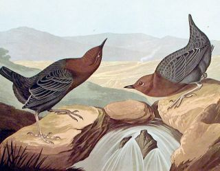 """American Water Ouzel. From """"The Birds of America"""" (Amsterdam Edition)"""