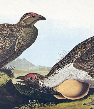 """Cock of the Plains. From """"The Birds of America"""" (Amsterdam Edition)"""