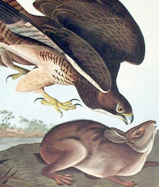 "Common Buzzard. From ""The Birds of America"" (Amsterdam Edition)"