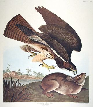 "Common Buzzard. From ""The Birds of America"" (Amsterdam Edition). John James AUDUBON"