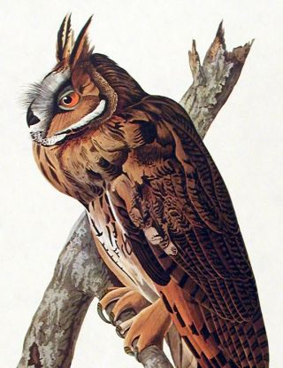"Long-eared Owl. From ""The Birds of America"" (Amsterdam Edition)"