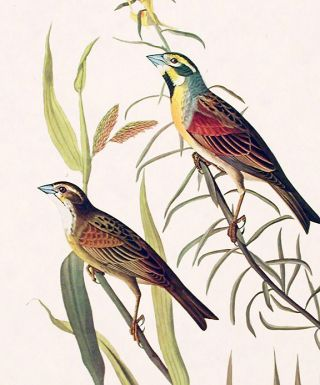 "Black-throated Bunting. From ""The Birds of America"" (Amsterdam Edition)"