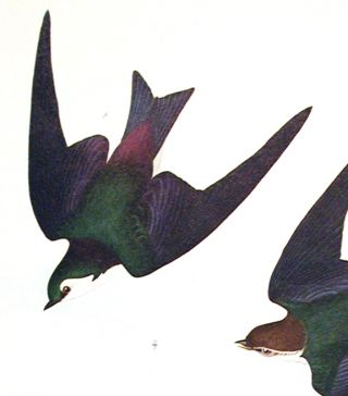 "Bank Swallow, Violet-Green Swallow. From ""The Birds of America"" (Amsterdam Edition)"