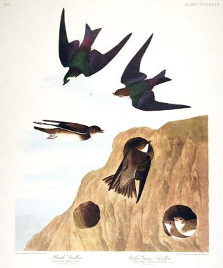"Bank Swallow, Violet-Green Swallow. From ""The Birds of America"" (Amsterdam Edition). John James..."