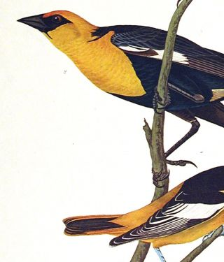"""Nuttall's Starling, Yellow-headed Troopial, Bullock's Oriole. From """"The Birds of America"""" (Amsterdam Edition)"""