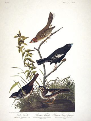 "Lark Finch, Prairie Finch, Brown Song Sparrow. From ""The Birds of America"" (Amsterdam Edition)...."