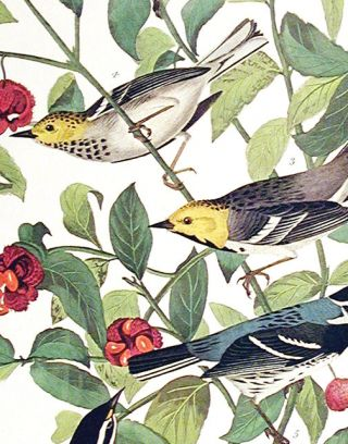 "Audubons Warbler, Hermit Warbler, Black-throated gray Warbler. From ""The Birds of America"" (Amsterdam Edition)"