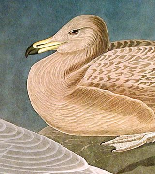"Burgomaster Gull. From ""The Birds of America"" (Amsterdam Edition)"
