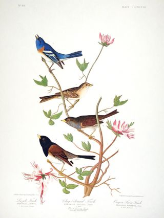 "Lazuli Finch, Clay-coloured Finch, Oregon Snow Finch. From ""The Birds of America"" (Amsterdam..."