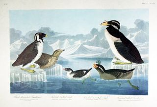 "Black-throated Guillemot, Nobbed-billed Auk, Curled-Crested Auk. From ""The Birds of America""..."